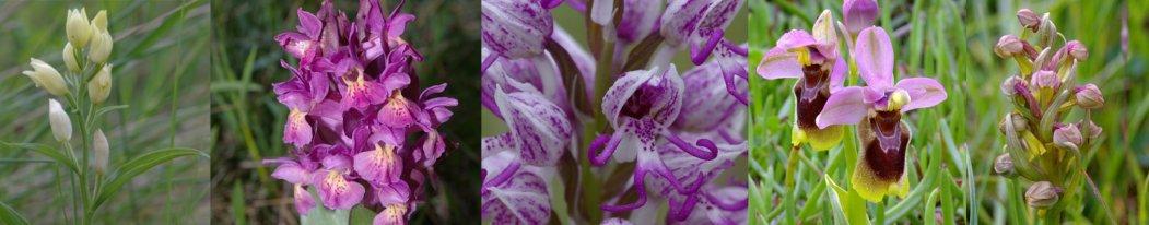 orquidies tira